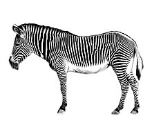 Zebra African Mammal. Wildlife Digital Engraving Image. by digitaleclectic