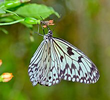 Paper Kite Butterfly by M.S. Photography/Art