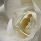 Moondance Floribunda Rose by Robert Armendariz