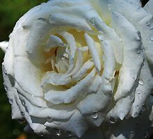 Pope John Paul II Hybrid Tea Rose by Robert Armendariz