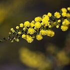 Wattle Drama by Joy Watson