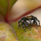 Jumping spider by Vickie Burt
