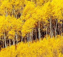 Golden Fall Aspens by Gregory J Summers