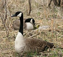 Male Goose Protecting Female and Goslings by rhamm