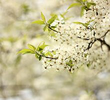 Wild Plum Blossoms by AbigailJoy