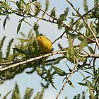 Yellow Warbler on a Branch by rhamm