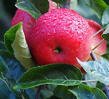 A Rain Dappled Apple by Jazzdenski