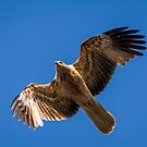 Whistling Kite by John Conway