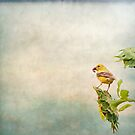 Male Goldfinch by KathleenRinker