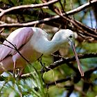 Spoonbill way up in the Pine Trees Resting by imagetj
