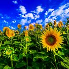 Field of Sunflowers by john forrant