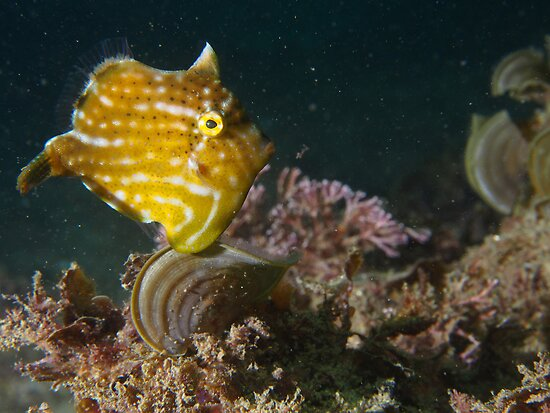 Pygmy Leatherjacket by Paul Duckett