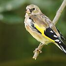 Goldfinch by Mark Hughes