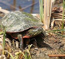 Painted Turtle Standing in a Marsh by rhamm
