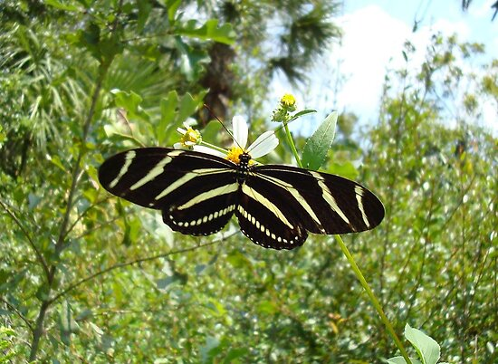 ZEBRA LONGWING by May Lattanzio