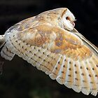 Barn Owl in Flight by Mark Hughes