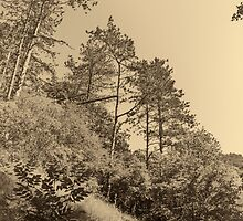 Pines on a hillside by fodorpetya