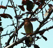 Cedar Waxwing on Apple Tree by rhamm