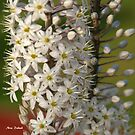 Sea squill Bloom by Nira Dabush