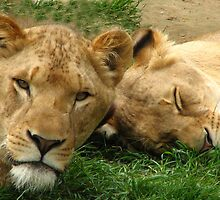 Asian Lions (Panthera leo persica) by Neville Hawkins