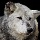 Grey Wolf Close-Up (Canis lupus) by Neville Hawkins