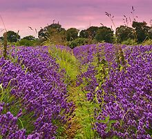 A Norfolk Lavender Field (Lavandula) by Neville Hawkins