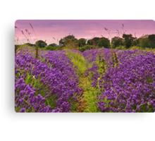 A Norfolk Lavender Field (Lavandula) Canvas Print