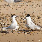 Sandwich Terns by Mark Ramsell