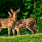 Spring Twins (White Tailed Deers) by Yannik Hay