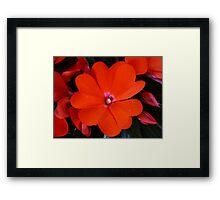 RED IMPATIENS 01 Framed Print