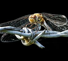 Common Darter Dragonfly by Mark Hughes