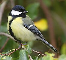 Great Tit by naturalnomad