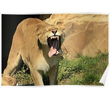Lioness Toothless Yawn Poster