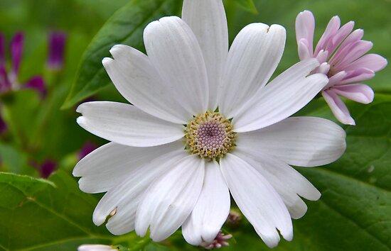 Delightful Daisy by Deborah Clearwater