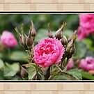 Pink wild rose flower and buds in frame. Floral nature photography. by naturematters