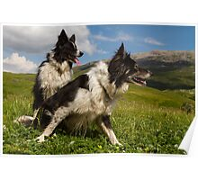 A couple of border collies Poster