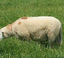 Sheep in a Field by rhamm