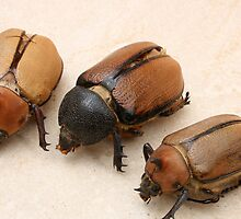 Rhinoceros Beetles by rhamm