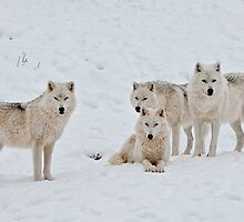 Arctic Wolves In Early Morning by WolvesOnly