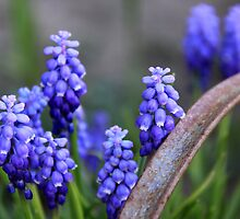 Grape Hyacinths by coffeebean
