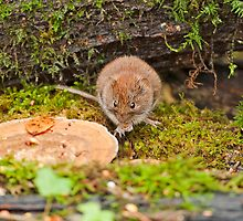 Bank Vole by PaulScoullar