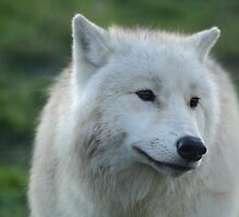 Arctic Wolf by SeanHowell