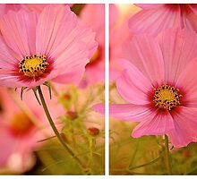 September Cosmea 2013 by Mike  Waldron