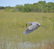 Great Blue Heron in Flight by EmmaLeigh