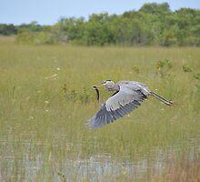 Great Blue Heron in Flight by EmmaLeigh