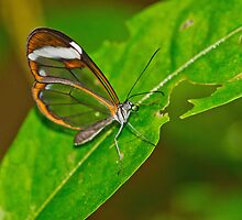 Glasswing Butterfly by M.S. Photography & Art
