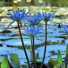 Blue Water Lily by Charlotte Hertler
