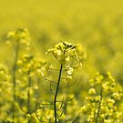 Afternoon Glow - Canola by Linda Lees