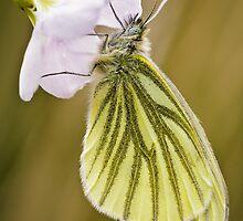 Green Veined White Butterfly on Cuckoo Flower by Heidi Stewart