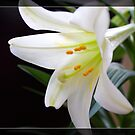 Pure white Easter lily flower in frame. Floral photo art.  by naturematters